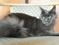 Ачинск: Кошечка мейн-кун - пушистая рысь для дома Продается голубая кошечка мейн-кун, умненькая девочка, в меру игривая, по характеру контактная. Кошечка мор