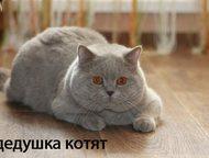 Ангарск: британские котята (плюшевые) продам котят британской породы (плюшевые), окрас «голубой», очень красивые, родители чемпионы, недорого, торг.