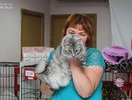 Ангарск: продам котят курильского бобтейла В питомнике , Taezhnyi roman от пары курильских бобтейлов Харизмы Мурчалки KBL ns23 и Никана Мурчалки n09 родилось