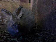 Продам пуховых кроликов Продам пуховых кроликов 3 месяца мальчик и девочка, Арзамас - Другие животные