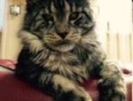 Ижевск: пропал кот куплю своего кота, ушел в ночь на 8 апреля, район Татарбазара, домашний, 2 года, не кастрирован, небольшой шрамик под глазом, есть вредные