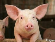 Реализуем свиней и поросят оптом Реализуем свиней и поросят оптом, от одного месяца.   порода: крупные белые, беконки 3-ех породки, ландрас, дюрок.   , Казань - Другие животные