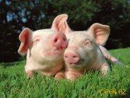 Поросята и свиньи оптом Порода: крупные белые, беконки 3-ех породки, ландрас, дюрок.   свинокомплекс реализует свиней и поросят оптом, от одного месяц, Казань - Другие животные