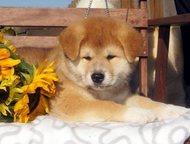 Казань: Акита-ину Профессиональным питомником предлагаются красивые и породные щенки акита-ину, японская акита. Предлагаются мальчики и девочка. Щенки без нед