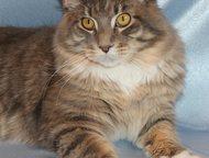 Котенок породы Мейн-кун Продам замечательного котенка породы мейн-кун (мальчик), родители чемпионы, чистокровный (внешний вид соответствует породе), п, Кемерово - Продажа кошек и котят