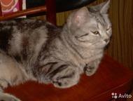 Молодой красивый крупный полон сил британец, для вязки молодой красивый кот- британец. очень красивого окраса с чётко выраженным рисунком : ждёт кошеч, Кемерово - Вязка кошек (случка)