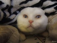 Краснодар: Вязка Молодой вислоухий шотландец (1, 5 года) приглашает ПРЯМОУХИХ кошечек своей породы на вязку.   Кот имеет ветеринарный паспорт со всеми необходимы
