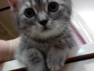 Красноярск: Бриташки очаровашки родились 27 января, нам уже 2, 5 мес. 2 мальчика и 3 девочки. котята чистокровные, без документов. Полностью самостоятельные, у ка