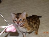 Бенгальские котята Продаются бенгальские котята. От титулованных родителей. Ласковые, игривые, кушают самостоятельно, приучены к когтеточки и горшку, , Красноярск - Продажа кошек и котят