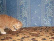 Кисуля ищет добрые ручки Кошечка к туалету приучена. С этим чудо ребёнком, вы забудете про скуку. ), Ленинск-Кузнецкий - Продажа кошек и котят