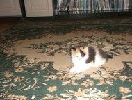 Ищет новый дом Красивая девочка, видна издалека! )Умная, активная. К туалету приучена., Ленинск-Кузнецкий - Продажа кошек и котят