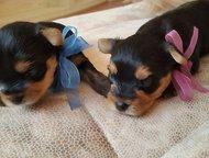 Находка: Продаются очень красивые и перспективные щенки Йоркширского терьера Девочка и мальчик от родителей с отличной родословной /питомник/. Дата рождения -