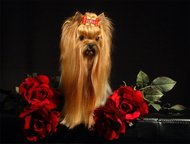 Щенки йоркширского терьера Предлагаются щеночки йорка , девочки и мальчики, мини и стандарт, высокопородные малыши, для шоу или для души. Племенной пи, Новый Уренгой - Продажа собак,  щенков