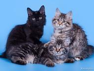 Астрахань: Курильский Бобтейл,Котята Питомник Nero Lince г. Пенза предлагает клубного котика Курильского Бобтейла от титулованных родителей. Прекрасный интеллект