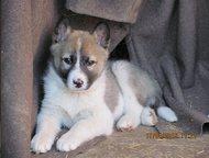 Ростов-На-Дону: щенок западно-сибирской лайки щенок западно-сибирской лайки, девочка, от рабочих родителей, родилась 25. 02. 2016 г.