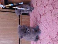 Ростов-На-Дону: британские котята Продаю котят-девочки, британской породы. . . окрас голубой. . Цена 2 800 рублей