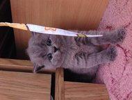 британские котята Продаю котят-девочки, британской породы. . . окрас голубой. . Цена 2 800 рублей, Ростов-На-Дону - Продажа кошек и котят