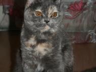ищим кота для вязки, Молодая, красивая, здоровая кошечка британской породы, ищет котика для вязки., Солнечногорск - Вязка кошек (случка)