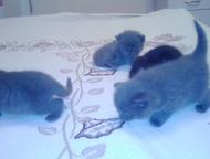 котята шотландской породы Продам котят шотландской породы окрас голубой, серебристый, черный, черный дым, скотиш-страйт, скотиш-фолд. Кушают самостоят, Тобольск - Продажа кошек и котят