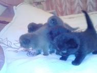 Тобольск: котята шотландской породы Продам котят шотландской породы окрас голубой, серебристый, черный, черный дым, скотиш-страйт, скотиш-фолд. Кушают самостоят
