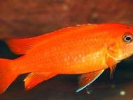 Златоуст: Продаю и отдаю даром цихлид озера Малави 1. Melanochromis auratus. мальки 2 см. - 50 руб.   2. Pseudotropheus deep orangh (чешская селекция). мальки 2